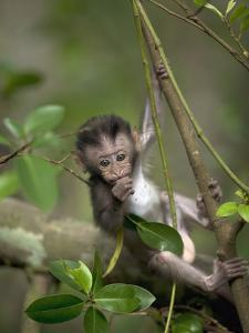 Long-Tailed or Crab-Eating Macaque (Macaca Fascicularis) Baby in Tree, Malaysia by Cyril Ruoso