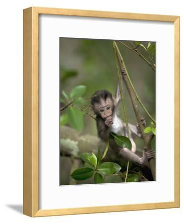 Long-Tailed or Crab-Eating Macaque (Macaca Fascicularis) Baby in Tree, Malaysia