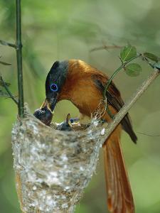 Madagascar Paradise Flycatcher (Terpsiphone Mutata) Female Feeding Chicks by Cyril Ruoso