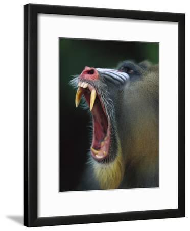 Mandrill (Mandrillus Sphinx) Adult Male Vocalizing Showing Huge Canine Teeth, Gabon