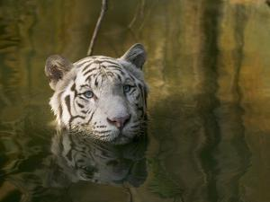 Melanistic or White Bengal Tiger (Panthera Tigris Tigris) Wading Through Water, Native to Asia by Cyril Ruoso