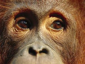 Orangutan (Pongo Pygmaeus) Close-Up, Borneo by Cyril Ruoso