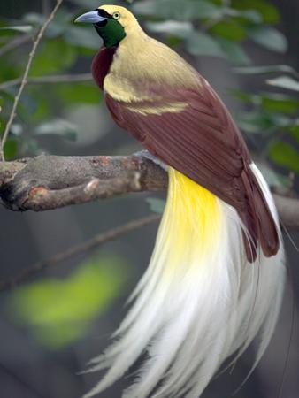 Raggiana Bird of Paradise (Paradisaea Raggiana), Native to Papua New Guinea