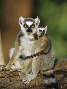 Ring-Tailed Lemur (Lemur Catta) Mother with Young on Back, Vulnerable, Madagascar by Cyril Ruoso