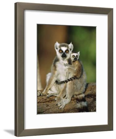 Ring-Tailed Lemur (Lemur Catta) Mother with Young on Back, Vulnerable, Madagascar