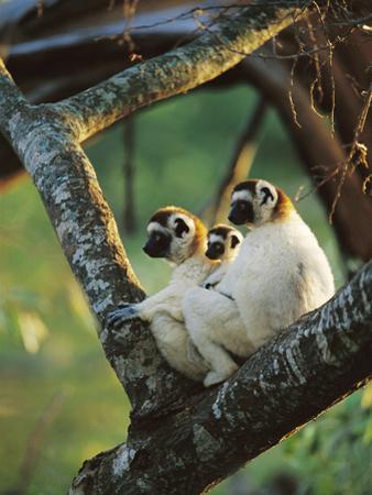 Sifaka (Propithecus Sp) Family Resting in Tree, Threatened, Berenty Reserve, Madagascar