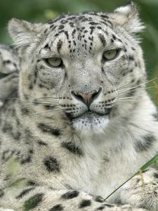 Snow Leopard (Uncia Uncia), Endangered Native to Asia and Russia by Cyril Ruoso
