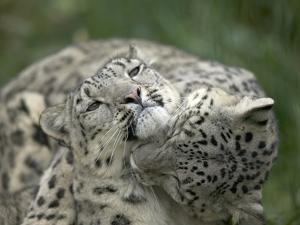 Snow Leopard (Uncia Uncia) Pair Playing Together, Endangered, Native to Asia and Russia by Cyril Ruoso