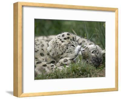 Snow Leopard (Uncia Uncia) Pair Playing Together, Endangered, Native to Asia and Russia