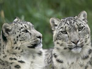 Snow Leopard (Uncia Uncia) Pair Resting Together, Endangered, Native to Asia and Russia by Cyril Ruoso