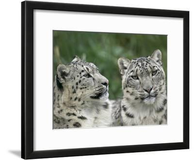 Snow Leopard (Uncia Uncia) Pair Resting Together, Endangered, Native to Asia and Russia