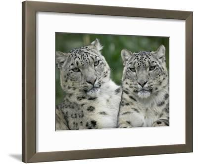 Snow Leopard (Uncia Uncia) Pair Sitting Together, Endangered, Native to Asia and Russia