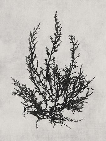 https://imgc.artprintimages.com/img/print/cystoseira-ericoides-noir_u-l-f971kw0.jpg?p=0