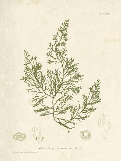 Cystoseira faeniculacea-Henry Bradbury-Giclee Print