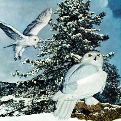"""Snowy Owls"", September 14, 1957"