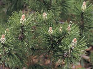 Close-Up of a Mugo Pine Tree (Pinus Mugo) by D. Dagli Orti
