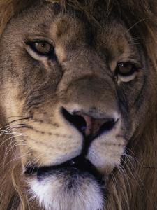 African Lion, Panthera Leo by D^ Robert Franz