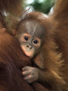 Baby Sumatran Orangutan, Indonesia by D. Robert Franz