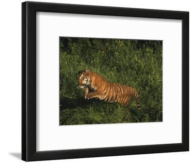 Bengal Tiger, Panthera Tigris, Endangered Species