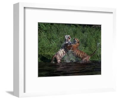 Bengal Tigers, Panthera Tigris, Endangered Species