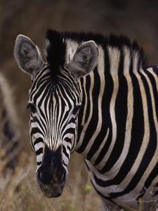 Burchell's Zebra, Equus Burchelli by D. Robert Franz