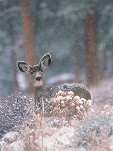 Deer in Winter Forest by D. Robert Franz