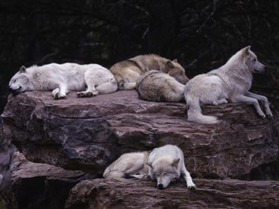 Gray Wolf, Canis Lupus by D. Robert Franz