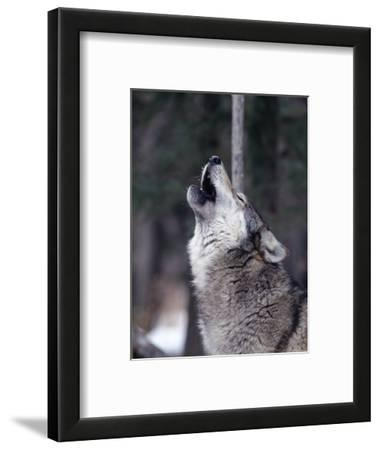 Grey Wolf Howling, Canis Lupus