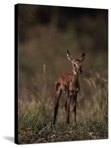 Impala Body, Aepyceros Melampus by D^ Robert Franz