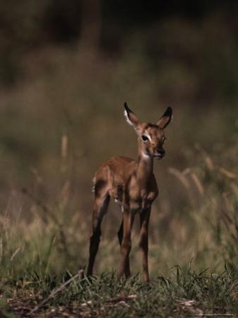 Impala Body, Aepyceros Melampus by D^ Robert Franz