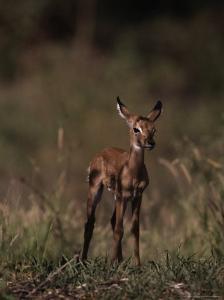 Impala Body, Aepyceros Melampus by D. Robert Franz