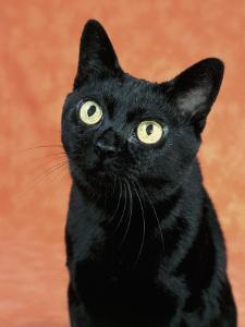 Close-Up of a Bombay Cat by D. Robotti