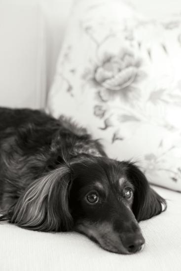 Dachshund Black and White-Karyn Millet-Photographic Print