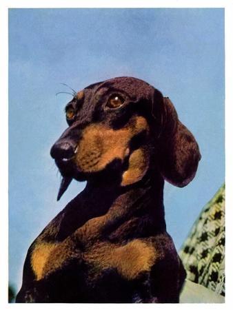 https://imgc.artprintimages.com/img/print/dachshund-may-14-1938_u-l-phx9s70.jpg?p=0