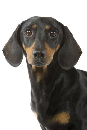 Dachshund, Teckel Smooth-Haired Black and Tan