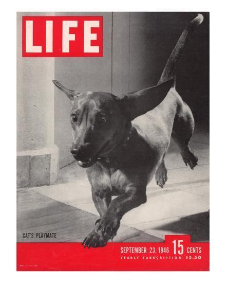 Dachsund Rudy Trotting Across Doorway in his Mexico City Home, September 23, 1946-Frank Scherschel-Photographic Print