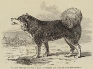 Daddy, the Esquimaux Dog of HMS Enterprise, Sent in Search of Sir John Franklin