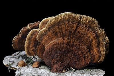 Daedaleopsis Confragosa Var. Tricolor (Blushing Bracket)-Paul Starosta-Photographic Print