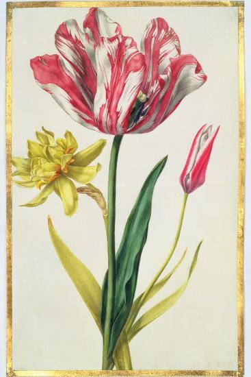 Daffodil and Tulip, C.1675-Nicolas Robert-Giclee Print