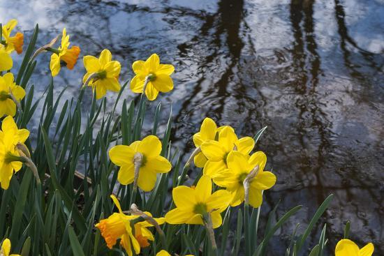 Daffodil Blooms-Anna Miller-Photographic Print