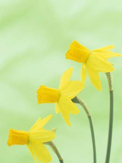Daffodil Flowers (Narcissus Cyclamineus), Jetfire Variety-Wally Eberhart-Photographic Print