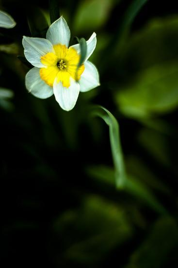 Daffodil II-Beth Wold-Photographic Print