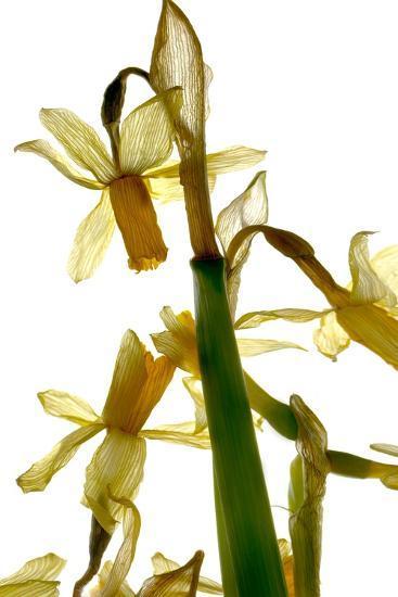 Daffodil Stand-Julia McLemore-Photographic Print