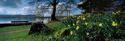Daffodils at the Lakeside, Lake Windermere, English Lake District, Cumbria, England--Photographic Print