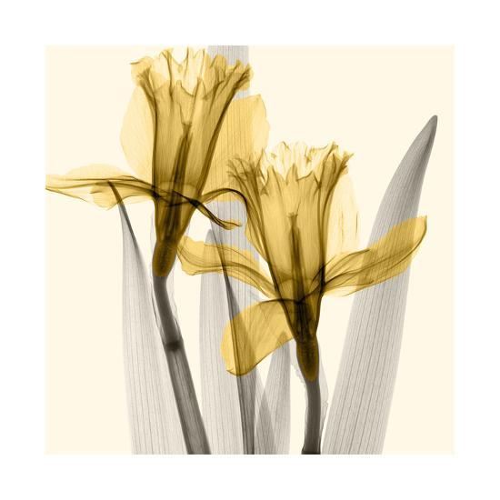 Daffodils II-Steven N^ Meyers-Giclee Print