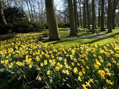 Daffodils in Bloom around Trees in a Public Garden-James P^ Blair-Photographic Print