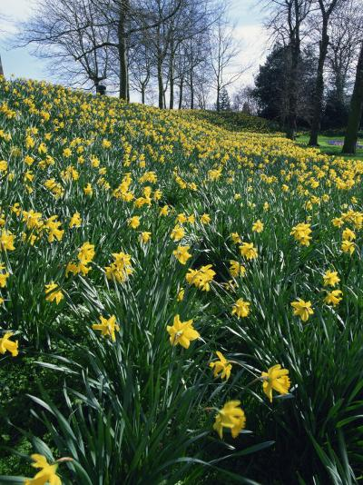Daffodils in Spring-Jeremy Bright-Photographic Print
