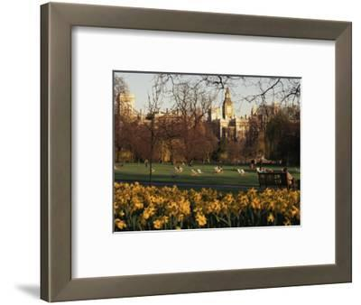 Daffodils in St. James's Park, with Big Ben Behind, London, England, United Kingdom
