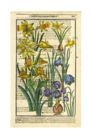 Daffodils, Narcissus, and Jonquils