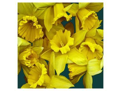 Daffodils yellow Flowers--Art Print